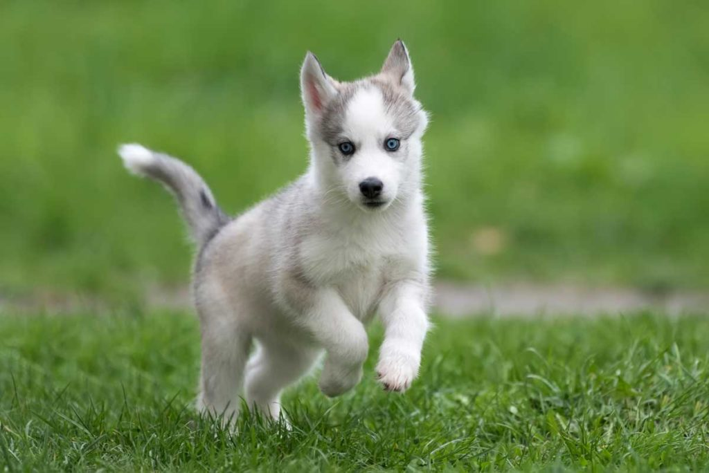 cute-little-husky-puppy-P4L2Y5H