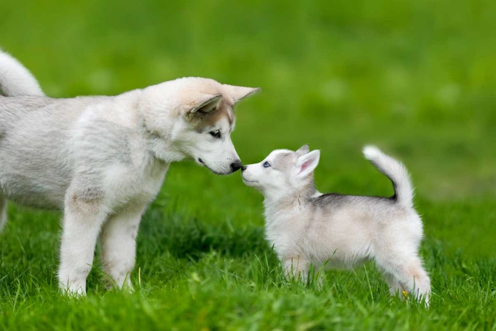 cute-little-husky-puppy-PHSN6K7