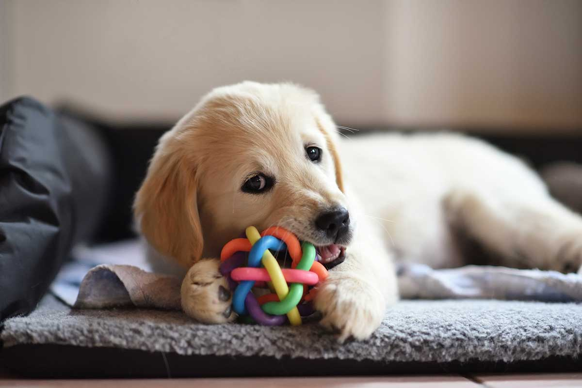 golden-retriever-dog-puppy-playing-with-toy-PHFQKHE
